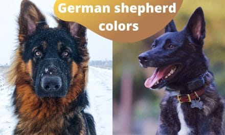 10 German Shepherd Colors- Do not get confused with other breeds